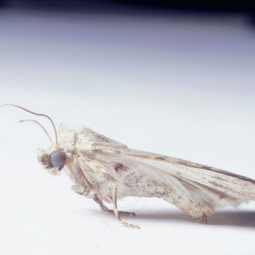 carpet Moth control Essex