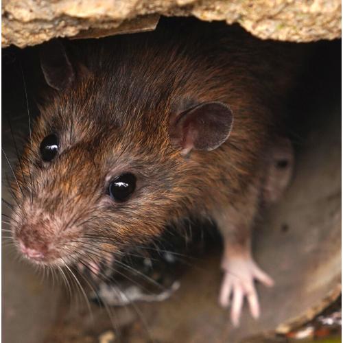 rat control essex