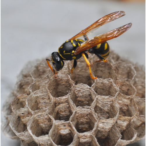 Wasp nest removal Essex